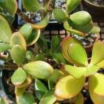 بررسی دلیل زرد شدن برگ گیاهان