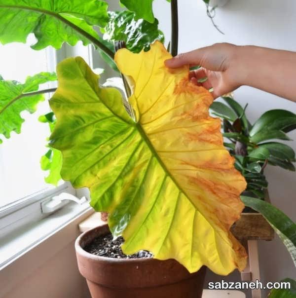 آشنایی با عوامل رایج زرد شدن برگ گیاهان