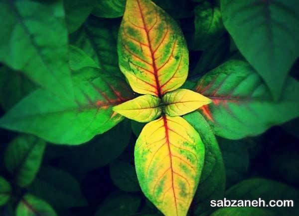 علت اصلی زرد شدن برگ گل