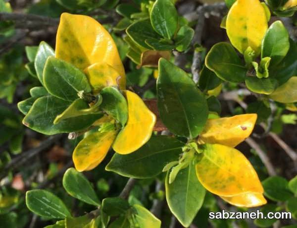 علل مهم زرد شدن برگ گیاهان
