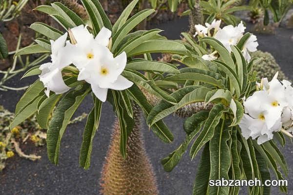 گل های نخل ماداگاسکار