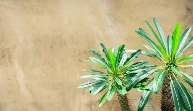 تکثیر نخل ماداگاسکار