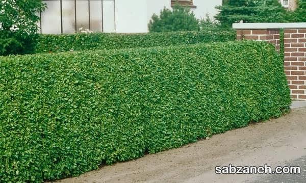 پروش گیاه ترون