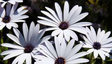پرورش و نگهداری گل استئوسپرموم