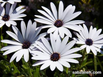 گل استیوسپرموم سفیذ رنگ