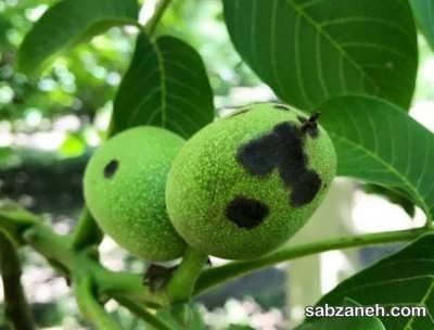 میوه آسیب دیده از آفت