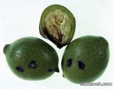آفات درخت گردو بر میوه های نرسیده