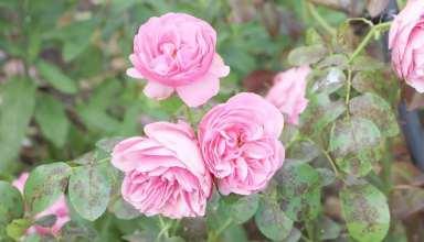 پرورش گل رز فرانسوی صورتی