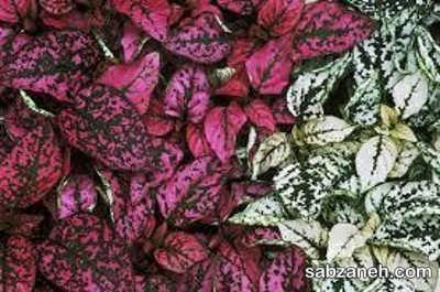 انواع مختلف گل خال صورتی